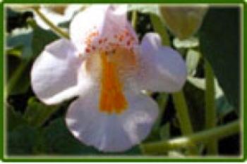 Duivelsklauw (Harpagophytum procumbens)