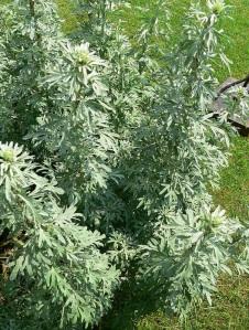 Artemisia absintium
