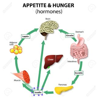 hormones-appetite-hunger-human-endocrine-system-incretin-ghrelin-leptin-and-insulin-stock-vector